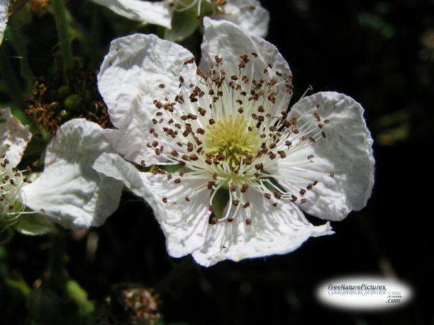344055__blackberry-flower_p