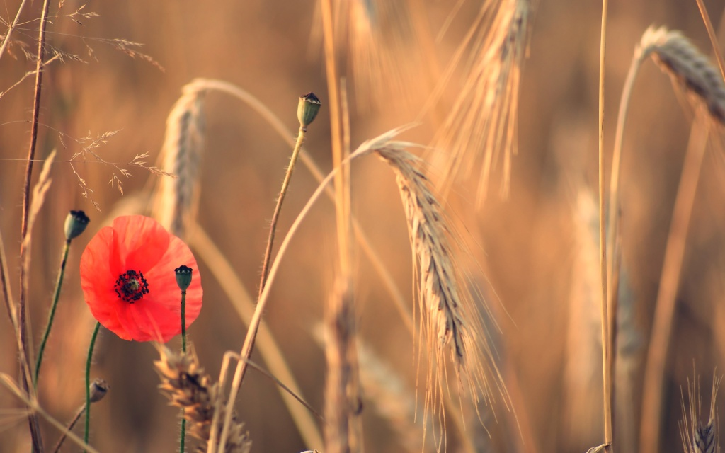 field-poppy-flower-spikes-summer_2560x1600_sc